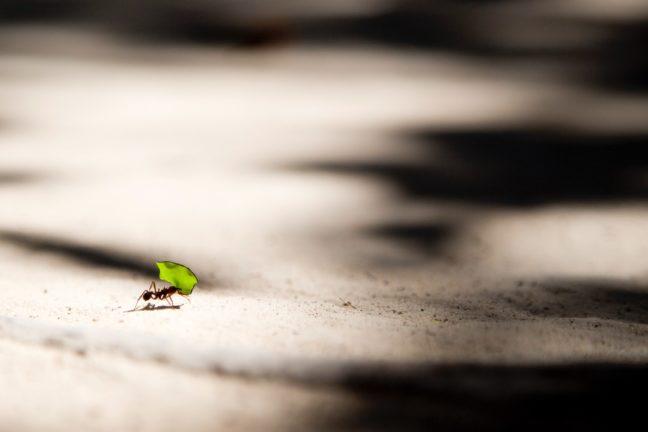 葉を運ぶアリ